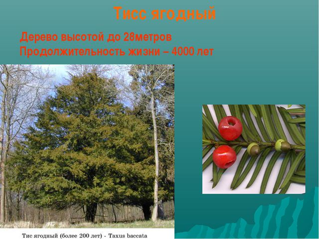 Тисс ягодный Дерево высотой до 28метров Продолжительность жизни – 4000 лет