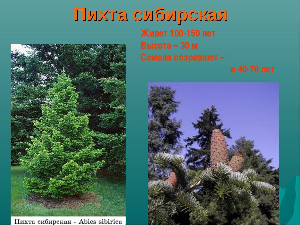 Пихта сибирская Живет 100-150 лет Высота – 30 м Семена созревают – в 40-70...