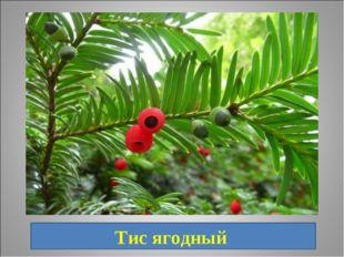 15. Хвойное растение, растущее в Приморском крае, в народе носит название Кра