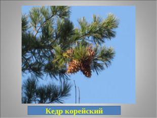 17. «Хлебное дерево». Кедр корейский