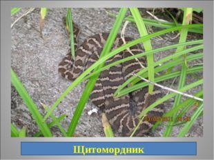 18. Самый распространённый вид ядовитых змей. брюхо имеет серую окраску или б