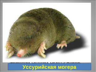 6. Млекопитающее семейства кротовых. Один из самых крупных представителей кро