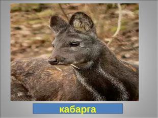 8. Небольшое парнокопытное оленевидное животное, в отличие от оленей рога отс