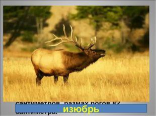 9. Подвид благородного оленя. Впервые описан в 1869 году в окрестностях Пекин