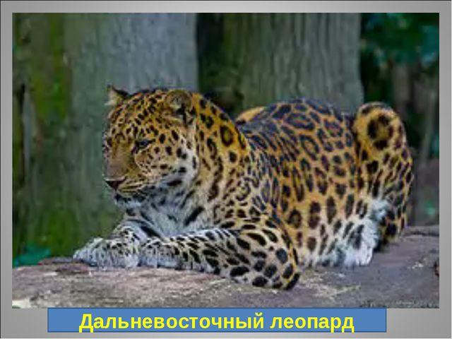 10. Хищное млекопитающее из семейства кошачьих, длина тела составляет 107—136...