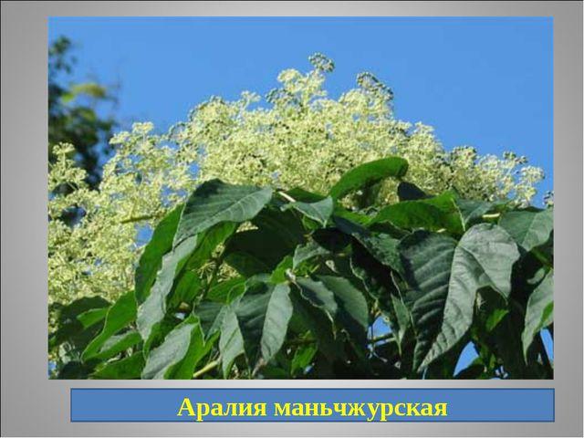 16. Быстрорастущее дерево или кустарник. Русские народные названия: шип-дерев...
