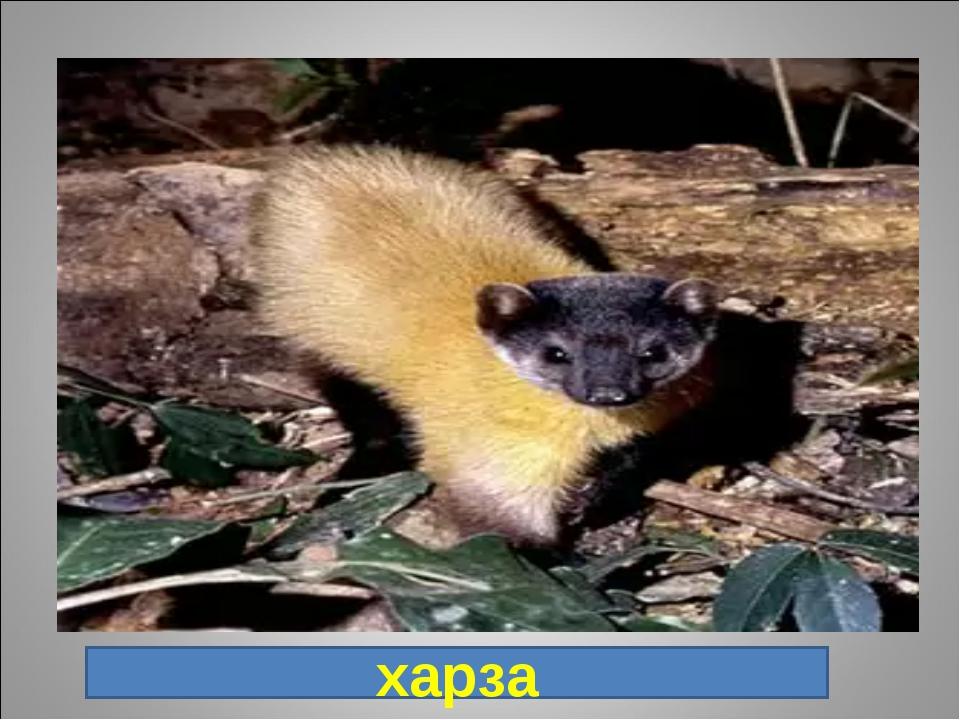11. Хищное млекопитающее семейства куньих. Самый крупный и ярко окрашенный пр...