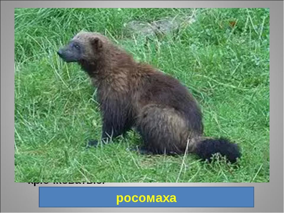 14. Хищное млекопитающее семейства куньих, внешне напоминает скорее медведя и...