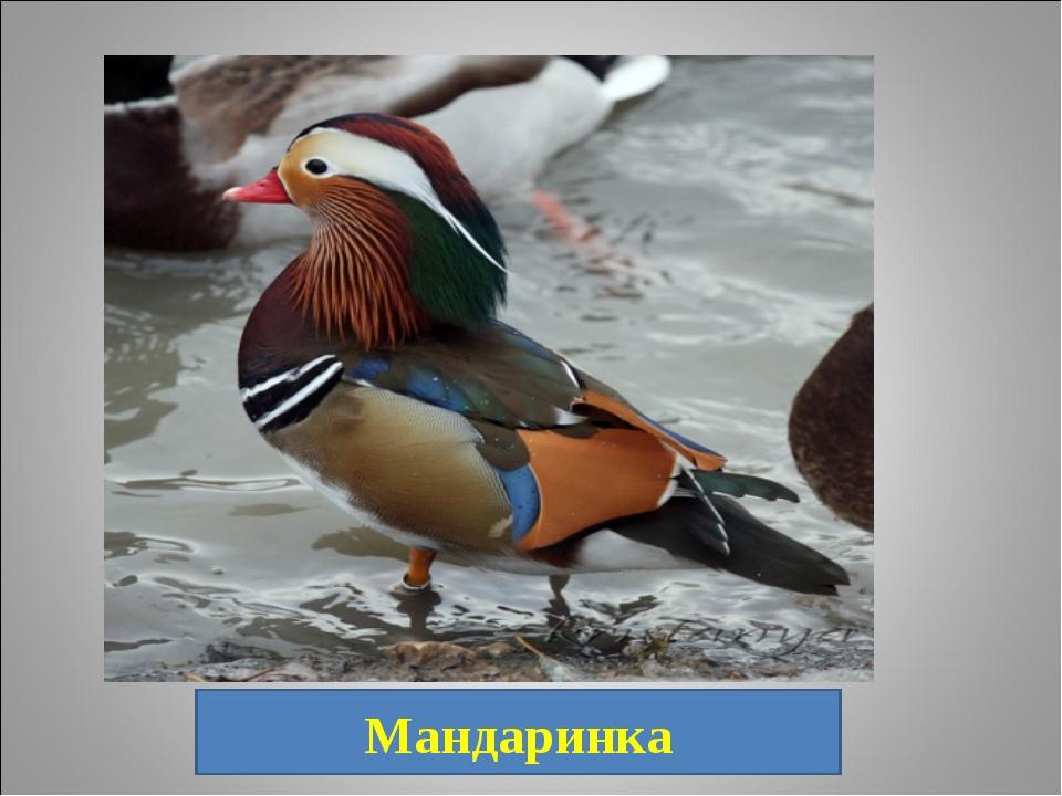 19. Очень красивая и пугливая утка. Обитает она не только на озёрах, но и на...