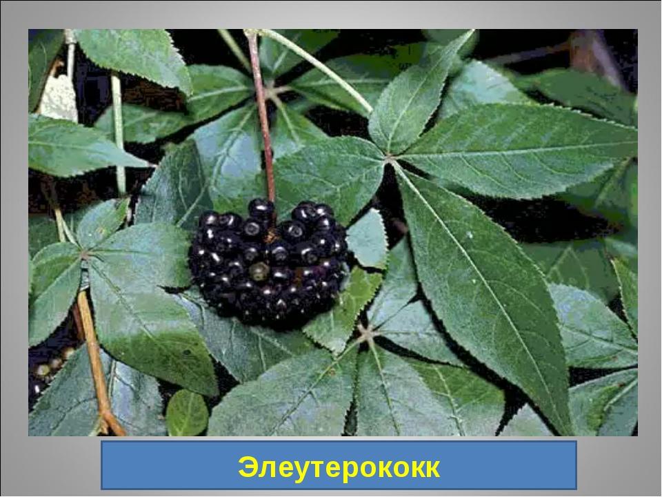 20. Род растений семейства Аралиевые, включающий около 30 видов колючих куста...