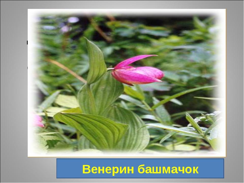 3. Цветок, названный в честь древнеримской богини красоты. В разных странах...