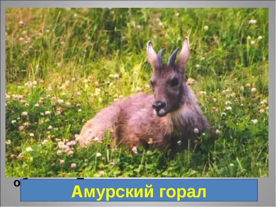 4. Парнокопытное животное, по внешнему виду больше всего напоминает обычную...