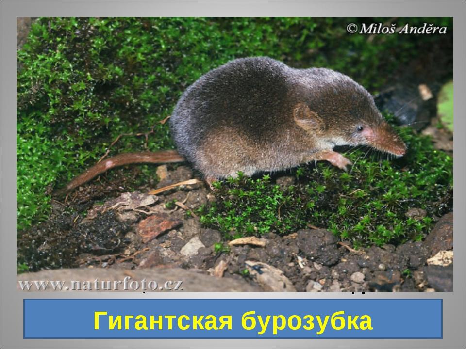 5. Животное Дальнего Востока, обитает в южной части Приморского края, длина...