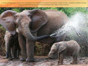У слона огромные уши, толстые ноги и длинный хобот, которым он пользуется как