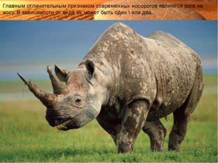 Главным отличительным признаком современных носорогов являются рогана носу.