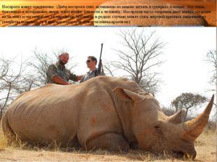 Носороги живут поодиночке. \Днём носороги спят, активными их можно застать в