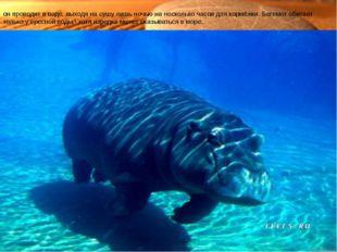 Характерной особенностью бегемота является его полуводный образ жизни— бо́ль