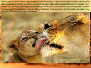 ЛЬВЫ живут большими львиными семьями прайдами.\ Главный в прайде – старый опы