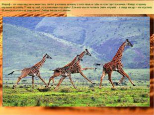 Жираф – это самое высокое животное, любит растения, акации, \у него язык и гу