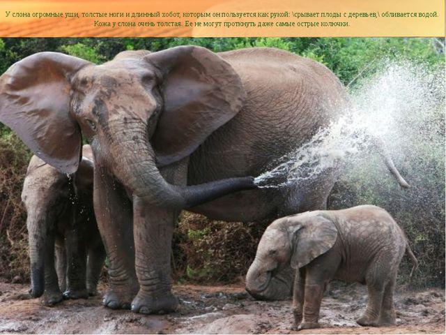 У слона огромные уши, толстые ноги и длинный хобот, которым он пользуется как...