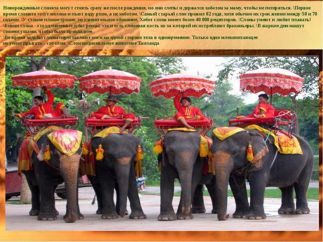 Новорожденные слонята могут стоять сразу же после рождения, но они слепы и де...