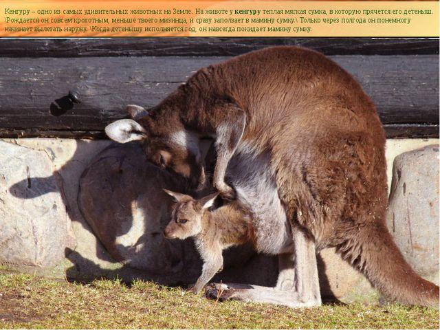 Кенгуру – одно из самых удивительных животных на Земле. На животе укенгуру т...