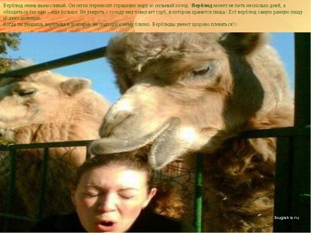 Верблюд очень выносливый. Он легко переносит страшную жару и\ сильный холод....