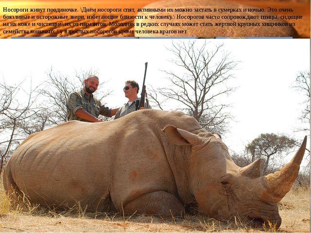 Носороги живут поодиночке. \Днём носороги спят, активными их можно застать в...