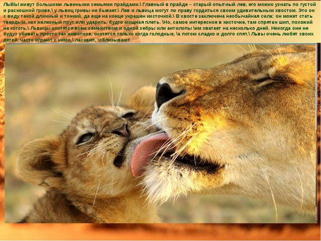 ЛЬВЫ живут большими львиными семьями прайдами.\ Главный в прайде – старый опы...