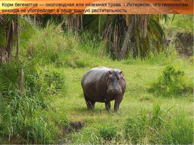 Корм бегемотов— околоводная или наземная трава. \ Интересно, что гиппопотам...