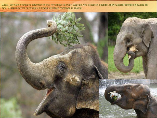 Слон – это самое большое животное из тех, что живут на суше. Хорошо, что он е...