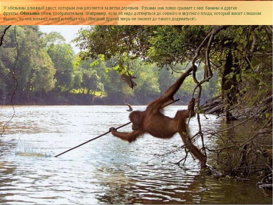 У обезьяны длинный хвост, которым она цепляется за ветки деревьев. \Руками он...