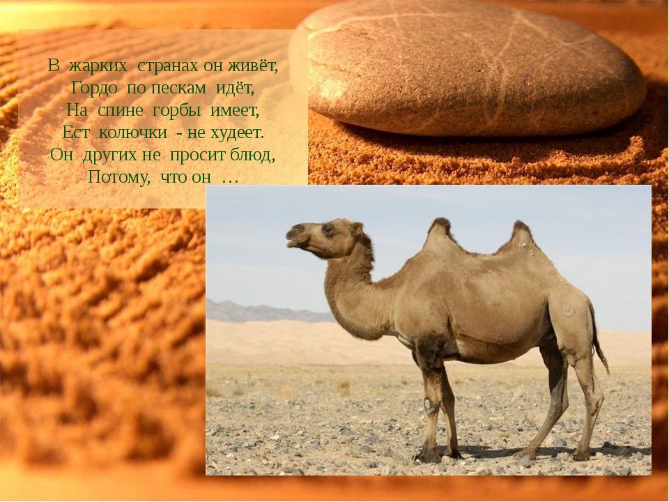 В жарких странах он живёт, Гордо по пескам идёт, На спине горбы имеет,...