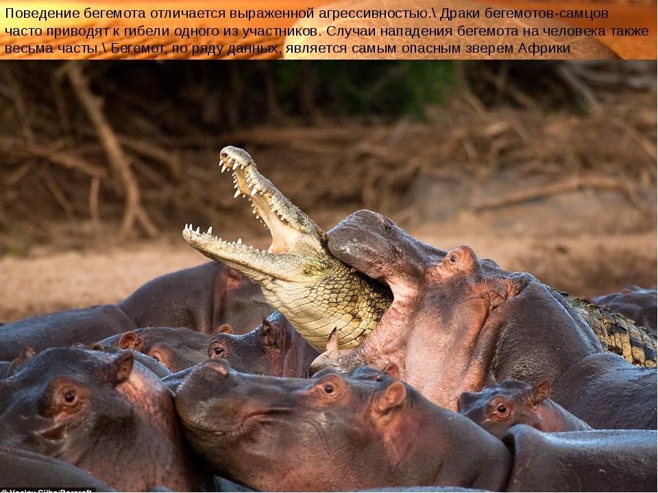 Поведение бегемота отличается выраженной агрессивностью.\ Драки бегемотов-сам...