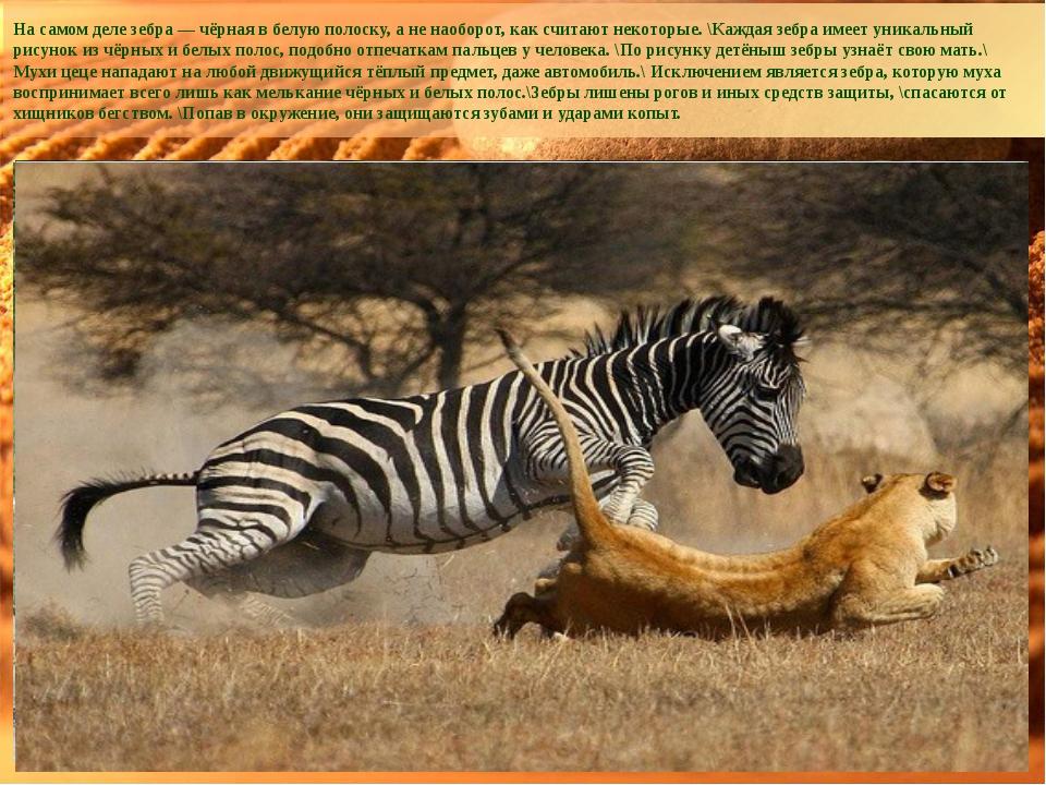 На самом деле зебра — чёрная в белую полоску, а не наоборот, как считают неко...