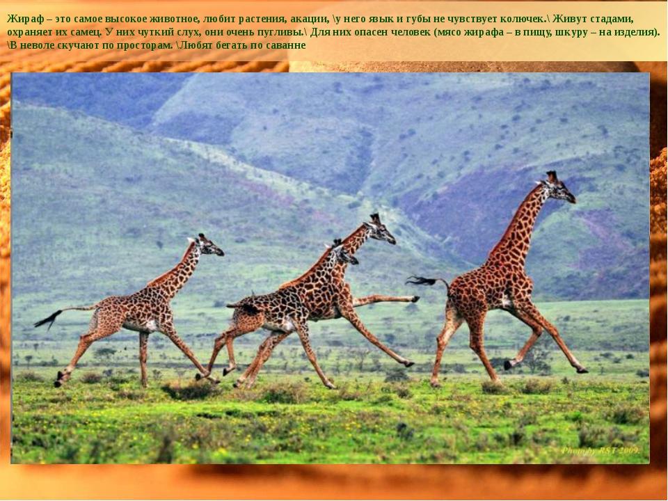 Жираф – это самое высокое животное, любит растения, акации, \у него язык и гу...