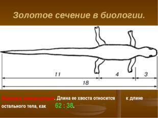 Золотое сечение в биологии. Ящерица живородящая. Длина ее хвоста относится к