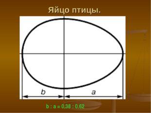 Яйцо птицы. b : a = 0,38 : 0.62