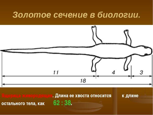 Золотое сечение в биологии. Ящерица живородящая. Длина ее хвоста относится к...