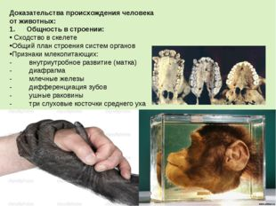 Доказательства происхождения человека от животных: 1.Общность в строени