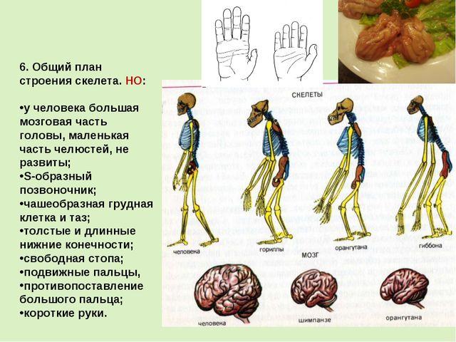 6. Общий план строения скелета. НО: у человека большая мозговая часть головы...