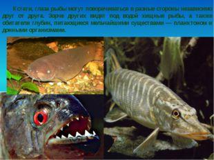 Кстати, глаза рыбы могут поворачиваться в разные стороны независимо друг от д