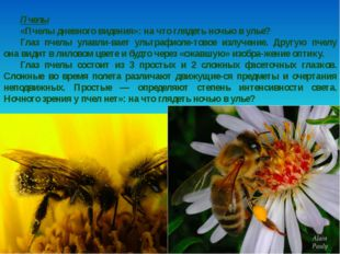 Пчелы «Пчелы дневного видения»: на что глядеть ночью в улье? Глаз пчелы улавл