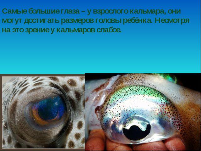Самые большие глаза – у взрослого кальмара, они могут достигать размеров голо...