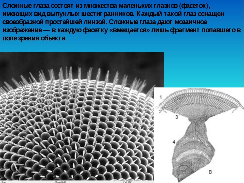 Сложные глаза состоят из множества маленьких глазков (фасеток), имеющих вид в...