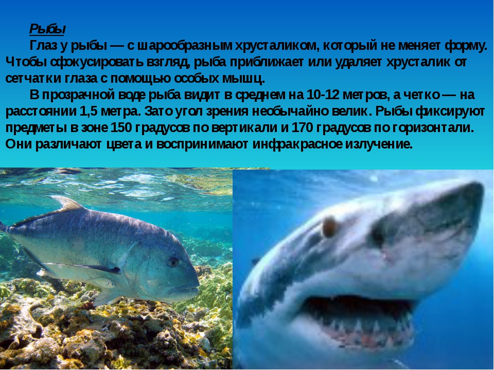 Рыбы Глаз у рыбы — с шарообразным хрусталиком, который не меняет форму. Чтобы...