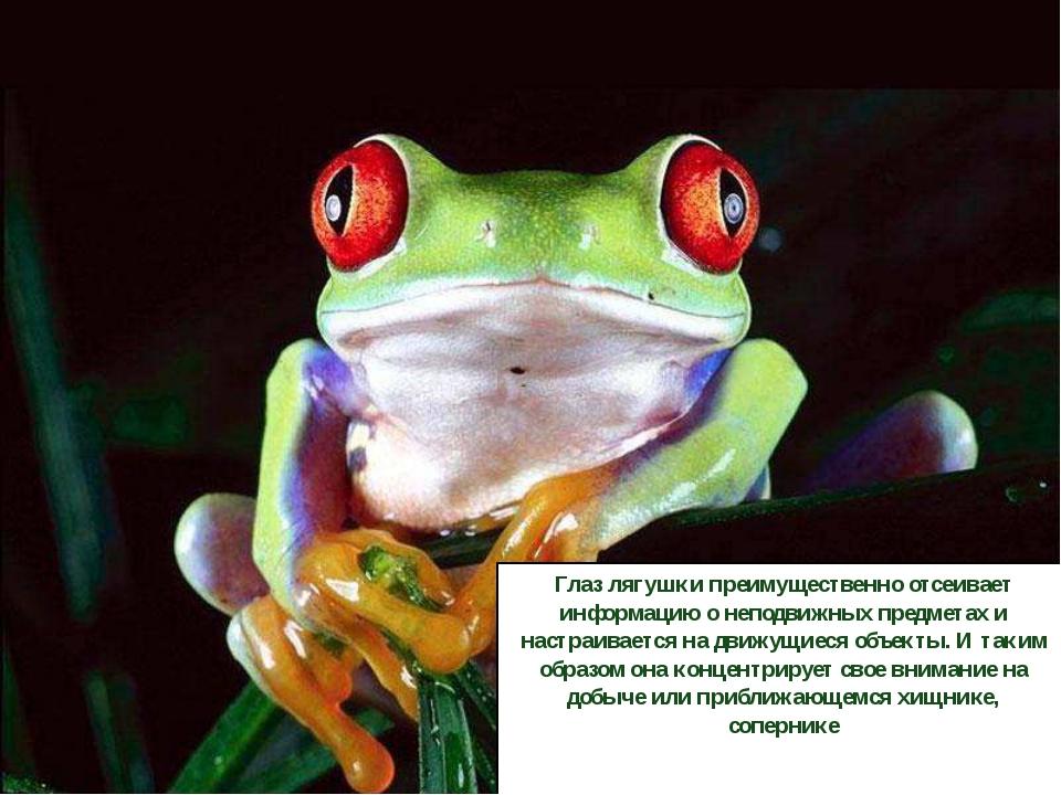 Глаз лягушки преимущественно отсеивает информацию о неподвижных предметах и...