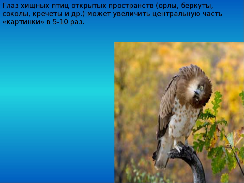 Глаз хищных птиц открытых пространств (орлы, беркуты, соколы, кречеты и др.)...