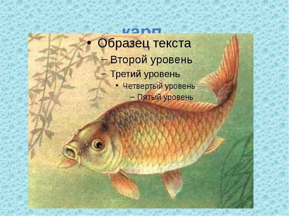 карп Любим жить в прозрачных водах, Каждый день в урочный час Возле берега ох...
