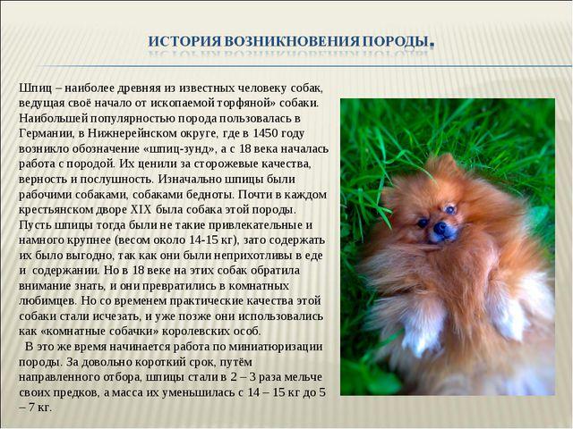 Шпиц – наиболее древняя из известных человеку собак, ведущая своё начало от и...